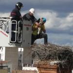 Gran expectación en el primer anillamiento de Cigüeñas en Bailén