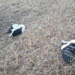 Investigan la causa de la muerte de varias cigüeñas junto a un poste eléctrico